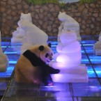 Panda Mei Lan turns off the lights of ice panda statues for Earth Hour at the giant panda breeding base in Chengdu in southwest China's Sichuan province on Saturday, March 26, 2011. Landmarks in thousands of cities on Saturday turned off the power for Earth Hour, the fifth such event promoting a sustainable future for the planet.(Photo By Evens Lee/Color China Photo/AP Images)