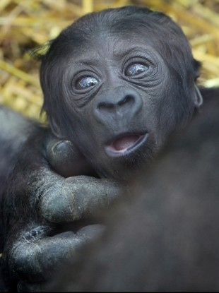 A two week old unnamed baby gorilla at Port Lympne Wild Animal Park in Kent, UK, which has become the 130th born at the Aspinall Foundation's two wildlife parks in the county.