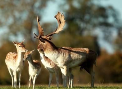 Fallow deer during the rutting season in the Phoenix Park, Dublin.