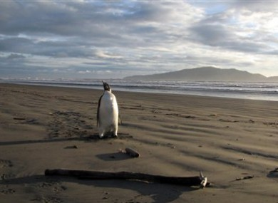 All alone... The penguin wandering along Peka Peka Beach in New Zealand on Monday.