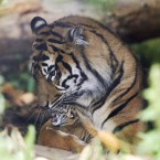 Sumatran tiger Kirana with her as yet unnamed three day-old cub at Chester Zoo (Peter Byrne/PA Wire)