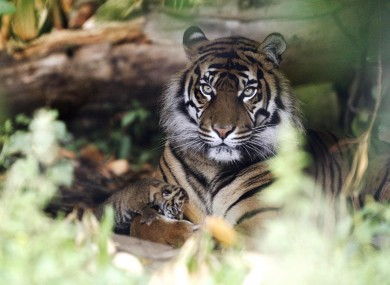Sumatran tiger Kirana poses with her as-yet-unnamed three-day-old cub at Chester Zoo in England.