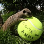 The meerkats at Blair Drummond Safari Park in Scotland show their support for local boy, tennis player Andy Murray (Andrew Milligan/PA Wire)