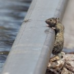 A wet mouse seeks safety from waters on a railway track near the flooded town of Percival, Iowa (AP Photo/Nati Harnik)