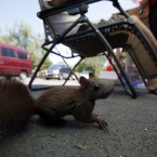 A pet squirrel is tied to a chair outside a pet shop in Beijing, China (AP Photo)