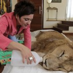 Raquel Borges feeds paralysed lion Ariel, who has a degenerative brain condition, in Sao Paulo, Brazil (AP Photo/Andre Penner)