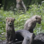 Cheetah cubs at a zoo in Wuppertal, Germany (AP Photo/Frank Augstein)