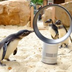 Meanwhile, in London, penguins at the Zoo cool down with the help of a Dyson bladeless fan. (Matt Crossick/PA Wire)