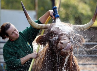 Maisie, a seven-year-old Highland Cow enjoys being washed down by Melissa Sinclair ahead of the International Highland Cattle Show in Glasgow today.