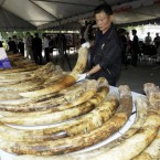 Thai custom officials display seized elephant tusks smuggled into Thailand from Kenya during  press conference at customs Headquarter in Bangkok on Friday April 1.2011.The Thai Customs Department has seized a large shipment of illicit African ivory falsely labeled as frozen sardine, officials said