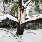 A tree is split in two due to heavy snow in Belmont, Massachusetts (AP Photo/Michael Dwyer)