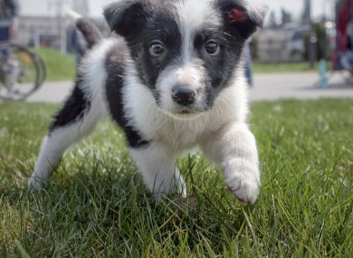 Panda, a rescued stray puppy, strolls on the grass during a protest against euthanasia of stray dogs in Bucharest earlier this year.