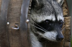 Woman could face charges after slamming dead raccoon against window