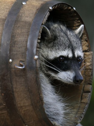 Not the raccoon in question (File photo)