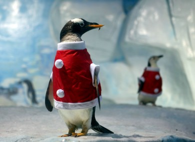 Two penguins dressed as Santa Claus at Tianjin Polar Ocean World in Tianjin, China
