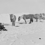 Pony camp at Greta Ice Barrier on 19 November 1911. From left: ponies Snippetts, Nobby, Michael and Jimmy Pigg. (Courtesy of Scott Polar Research Institute, University of Cambridge)