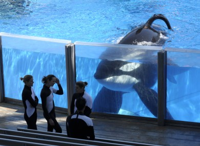 A killer whale in Seaworld Orlando in Florida.