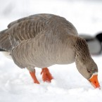 A Greylag goose searches for seeds dropped by a member of the public in the snow at Rushcliffe Country Park, Nottinghamshire. (Andrew Matthews/PA)