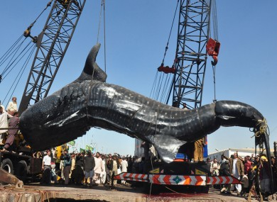 The whale shark carcass being lifted by crane in Karachi yesterday.