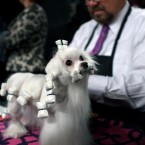 Maltese dog 'Dottie' gets a good grooming session in at the show. (AP Photo/Craig Ruttle/PA Images)