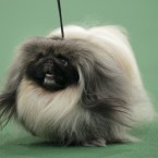 Pekingese 'Malachy' walks the walk during judging. (AP Photo/Seth Wenig/PA Images)