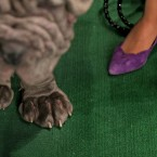 Neapolitan mastiff 'Trinity', left, of Ontario, Canada, waits for judging. (AP Photo/Craig Ruttle/PA Images)