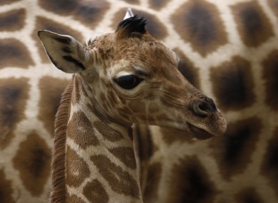 A 6-day-old Rothschild giraffe photographed in Prague Zoo today.
