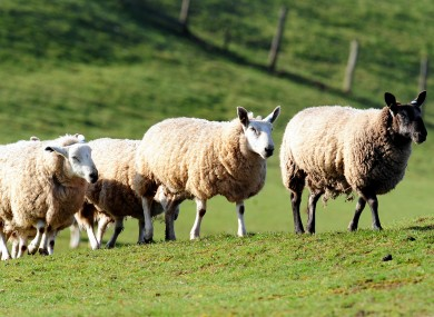 Sheep in a Derbyshire field yesterday