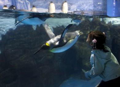 (AP Photo/Andy Wong) A child tries to kiss a penguin swimming inside an aquarium through glass at the Laohutan Ocean Park in Dalian, China.