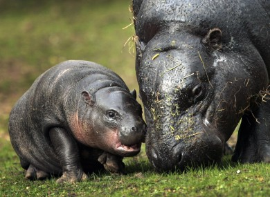 Eve a new baby Pygmy Hippo takes a first look at it's outside pen with her mother at Edinburgh Zoo today.