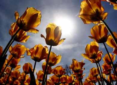 Tulips in full blossom are pictured against the sun in Munich, Germany, Friday, April 27, 2012
