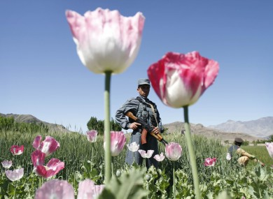 An Afghan policeman stands guard in an opium poppy field in Alingar, Laghman province east of Kabul, Afghanistan, Monday, April 30, 2012