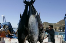 Tuna fish carried radiation from Fukushima to the United States