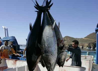 This file photo shows workers harvesting bluefin tuna from Maricultura's tuna pens near Ensenada, Mexico
