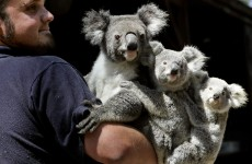 Koalas listed as 'vulnerable' in p