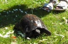 Have you seen this tortoise? 100-year-old pet makes quick getaway in Dublin