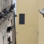 A pigeon hones in on a spot to land on a crowded wall in the central business district of Kuala Lumpur, Malaysia. (AP Photo/Mark Baker)
