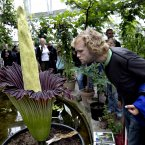 Amorphophallus titanum will bloom in the next few days for the first time in Denmark. This may be a somewhat mixed blessing, because the giant plant smells strongly of rotten meat and therefore has been nicknamed Corpse Flower or Mr Stinky. (Jacob Ehrbahn/POLFOTO/PA Images)