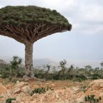 The archipelago of the four Socotra islands halfway between the Horn of Africa and the Arabian peninsula has a highly unique topography and ecosystem. Thirty-seven per cent of the plant species found here are found nowhere else on earth, including this dragon's blood tree. Image: Gerry & Boni/Flickr.com