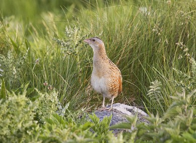 The once common corncrake