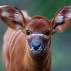 A 20-kg female Eastern Bongo calf was born at the Zoo in early January. The speciies is native to the African plains and highly endangered - less than 150 are believed to still exist in the wild. (Image: Dublin Zoo/Patrick Bolger Photography 2012)
