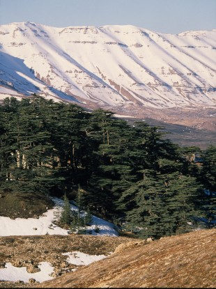 Ancient cedar trees in Lebanon.
