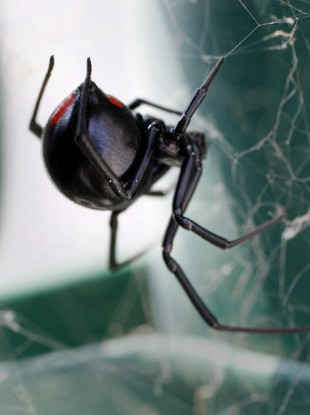 A female Black Widow spider to haunt your dreams.