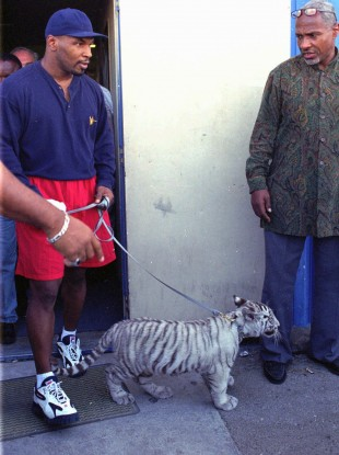 Mike Tyson with a pet tiger in 1995 - celebrity examples of owning exotic pets make them even more desirable to the regular consumer, conservationists claim.