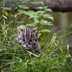 This female Fishing Cat cub was new to the Park last autumn. The Fishing Cat is an endangered specie native to Thailand, Cambodia and India and is double the size of a domestic cat.  Image: Simon McDermott/Photocall Ireland