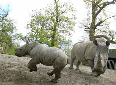 Dublin Zoo's newest arrival, a baby rhinoceros calf, pictured in the zoo with his mother, Ashanti, on Thursday