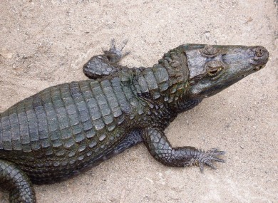 A spectacled caiman.