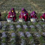 Afghan women work in a saffron field in Gozara District of Herat, Afghanistan. In the Western province of Herat, 90 percent of the former poppy farmers have switched to growing pricey spice, according to the Afghan Ministry of Counter Narcotics. <span class=