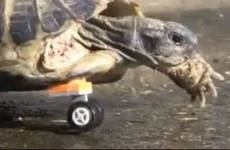 Tortoise has amputated leg replaced with Lego wheel
