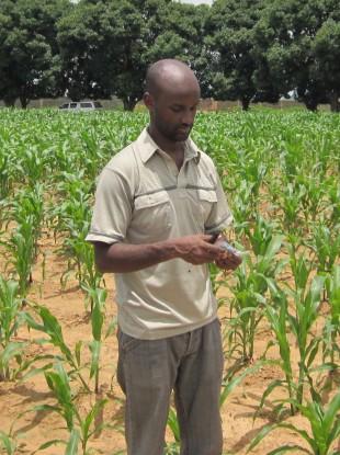 PhD student Girum Azmach inspecting IITA high vitamin A maize lines in field trials in Nigeria.